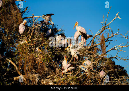 A group of yellow-billed storks Mycteria ibis nesting in tall trees on a river - Stock Photo