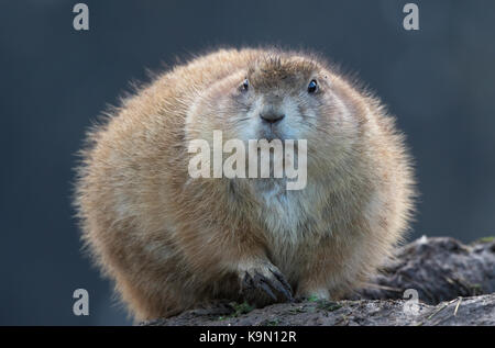 Wonderful Black Chubby Adorable Dog - tight-close-up-of-chubby-cute-prairie-dog-cynomys-sat-by-muddy-burrow-k9n12r  Perfect Image Reference_551494  .jpg