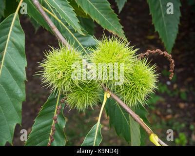 Close up of the semi ripe fruits of Castanea sativa - sweet chestnut - Stock Photo