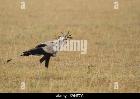 Secretary Bird in Maasai Mara - Stock Photo