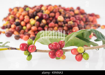 raw coffee cherries freshly on the branch of coffee plant on coffee cherries picked and ready for washing. - Stock Photo