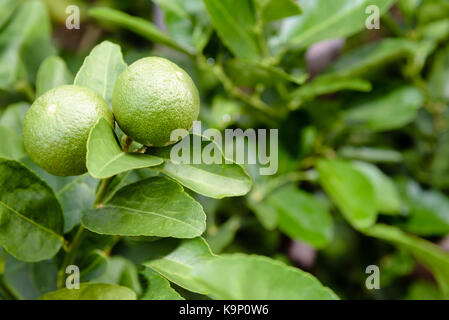 Two green lemons are the agricultural produce on its tree in a planted garden with green foliage as a background - Stock Photo