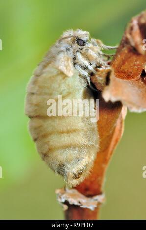 Vapourer moth (Orgyia antiqua) flightless female releasing pheromones to attract a male - Stock Photo