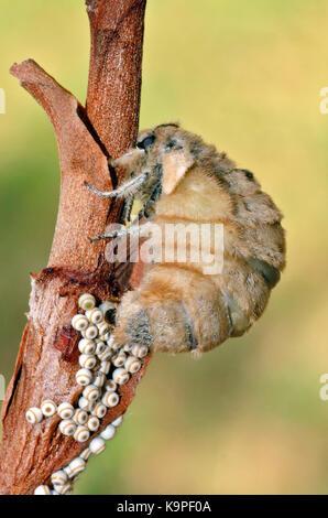 Vapourer moth (Orgyia antiqua) flightless female laying eggs - Stock Photo