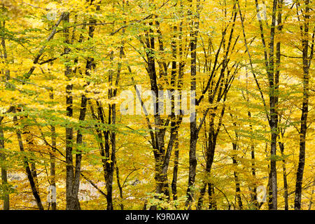 weather, season, background concept. the light breaks through thic forest that covered foliage of bright yellow - Stock Photo