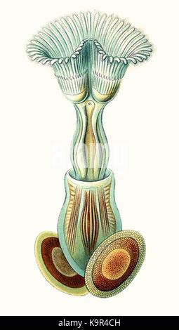Plumatella repens from Haeckel Bryozoa drawing Commons - Stock Photo