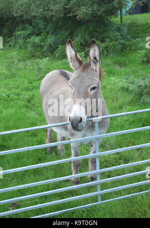 Lugubrious grey donkey in a field on a farm behind a gate, Wales, UK - Stock Photo