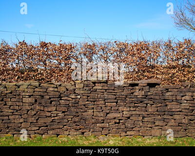Dry stone wall in Wales made from Old Red Sandstone with beech hedge above - Stock Photo