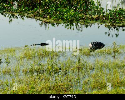 Two American alligators (Alligator mississippiensis), one very large, partially submerged in the grassy edge of - Stock Photo