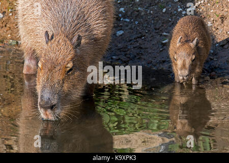 Capybara (Hydrochoerus hydrochaeris / Hydrochoeris hydrochaeris) drinking water with pup along riverbank, largest - Stock Photo