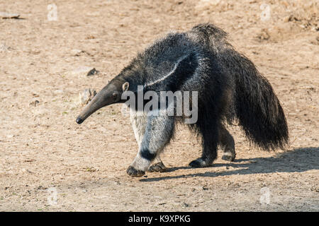 Giant anteater / ant bear (Myrmecophaga tridactyla) insectivore native to Central and South America - Stock Photo