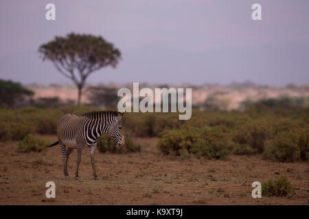 he Grévy's zebra (Equus grevyi), also known as the imperial zebra in Samburu - Stock Photo