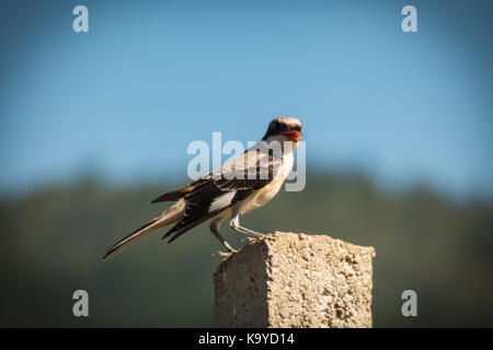 Lesser grey shrike(Lanius minor) on a concrete fence - Stock Photo