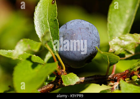 The fruit of Prunus spinosa, called blackthorn or sloe - Stock Photo