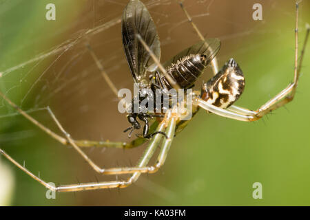 Web spinning UK spider Linyphia triangularis with captured female fly, Bibio species, prey - Stock Photo