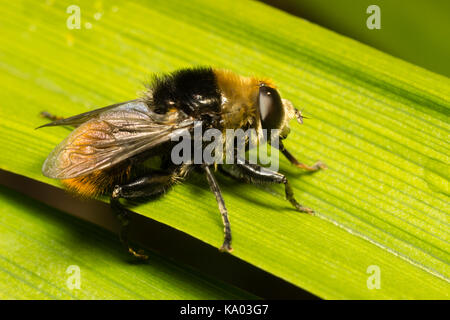 Adult male Narcissus fly, Merodon equestris, a nee mimic hoverfly and pest of daffodil and other bulbs - Stock Photo