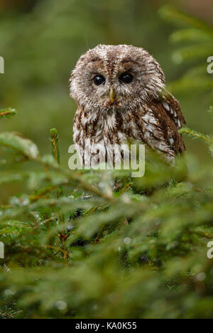 Tawny Owl - Strix aluco - Stock Photo