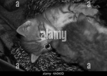 Ginger tabby kittens in black and white - Stock Photo