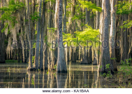 Bald cypress trees in lake martin louisiana spanish moss for Magnolia homes cypress grove