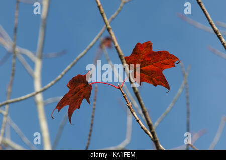 Two remaining red maple leaves on a tree against blue sky during autumn - Stock Photo