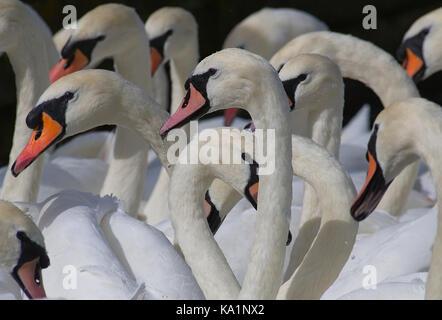 Mute Swans - Stock Photo