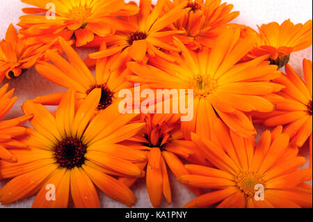 Closeup of orange Calendula flowers shot from above. Horizontal photo from high angle.  A few raindrops on petals. - Stock Photo