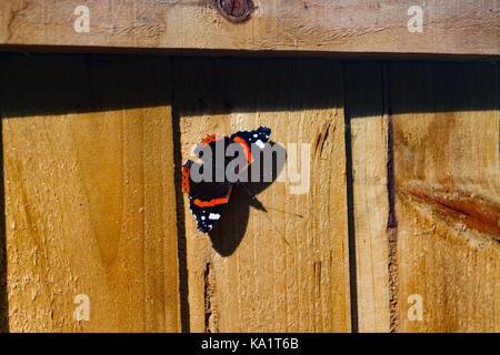Red Admiral Butterfly Vanessa atalanta basking on garden fence panel in Autumn. UK - Stock Photo
