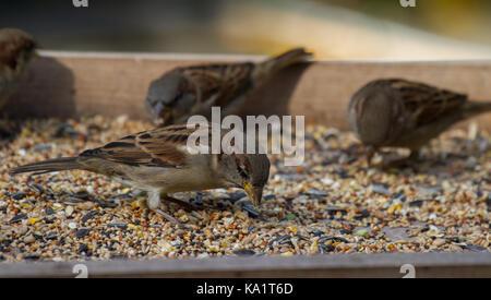 House Sparrows. Passer domesticus feeding on bird table. UK - Stock Photo