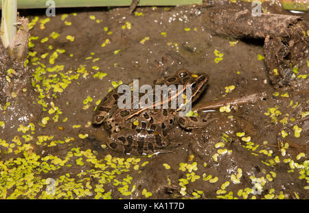 a study on the leopard frog rana pipiens In this study, 7 male and 4 female leopard frogs (rana pipiens) were induced with metomidate hydrochloride via immersion bath at a concentration of 30 mg/l for 60 min.
