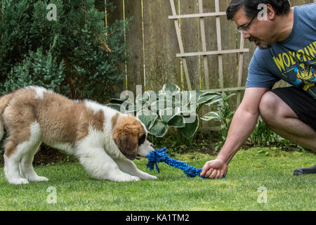 Three month old Saint Bernard puppy 'Mauna Kea' playing tug with a rope toy with his owner in their yard in Renton, - Stock Photo