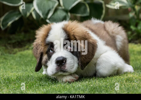 Three month old Saint Bernard puppy 'Mauna Kea' with a humorous guilty look on his face as he takes a break from - Stock Photo