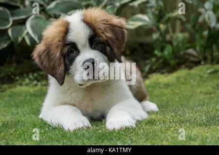 Portrait of a three month old Saint Bernard puppy 'Mauna Kea' in his yard in Renton, Washington, USA - Stock Photo
