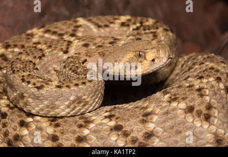 Western Diamond-backed Rattlesnake (Crotalus atrox) from Sonora, Mexico. - Stock Photo