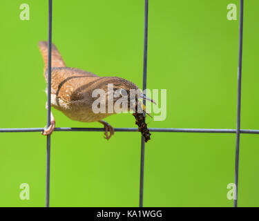 House wren (Troglodytes aedon) sitting on a wire fence eating a caterpillar with a green grass background. - Stock Photo