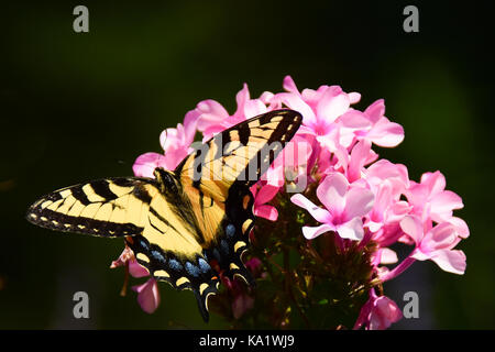 Eastern tiger swallowtail butterfly (Papilio glaucus) feeding on pink phlox in the garden with a dark shadow background. - Stock Photo