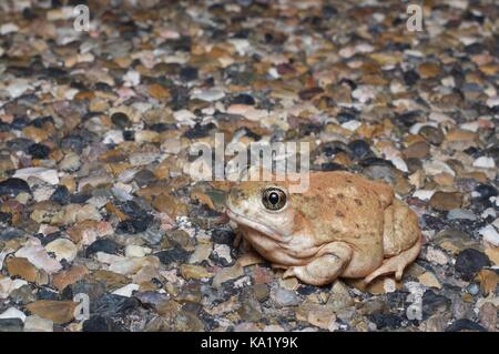A Great Basin Toad (Spea intermontana) on the road at night in Grand Staircase - Escalante National Monument in - Stock Photo