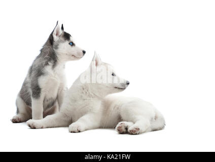 Siberian husky puppy at studio - Stock Photo