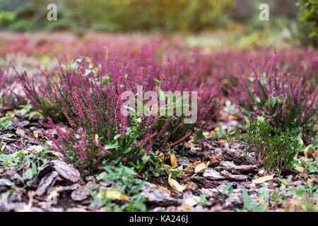 Pink flower of heather plant in the garden. Calluna Vulgaris flowers. - Stock Photo