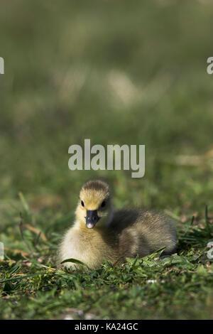 Greylag goose, Grey-Lag Goose, Anser anser, Graugans / Grey-Lag Goose / Anser anser - Stock Photo