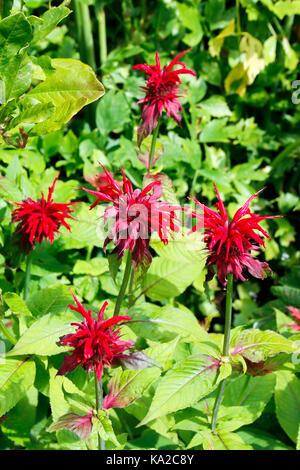 Scarlet red flowers of Monarda Didyma (Bee Balm) - Stock Photo
