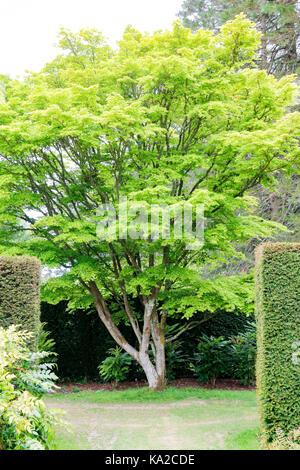 Green spring foliage of Acer Palmatum Senkaki (Coral Bark Maple) - Stock Photo