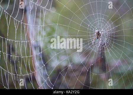A spider web covered in morning dew on heathland on Halkyn Mountiain, Wales, UK - Stock Photo