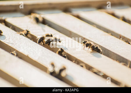 Bee frames in Bee hive with bees on them collecting nectar - Stock Photo