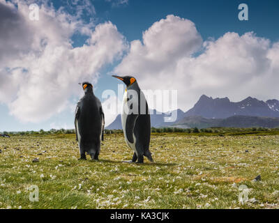 Close-up low angle view of two adult penguins alone together during mating season on South Georgia Island in November.