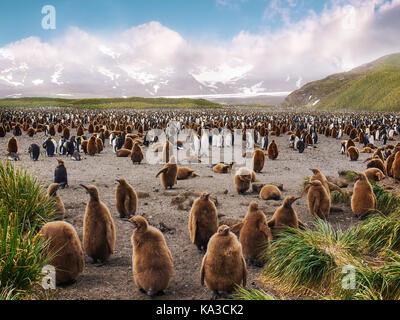 Large king penguin colony on Salisbury Plain on South Georgia Island with penguin chicks in the foreground and adults - Stock Photo