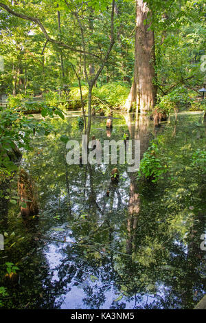 Cypress swamp preserve on the edge of Greenville, Mississippi.  The beautiful trees and cypress knees are reflected - Stock Photo