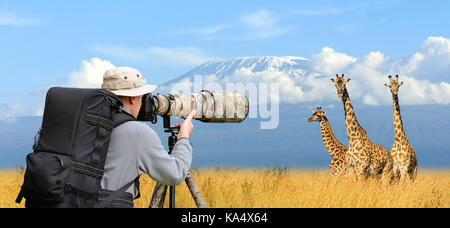Professional wildlife photographer on safari. Three giraffe shot - Stock Photo