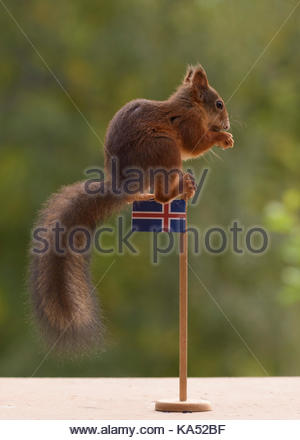 red squirrel is holding an Icelandic flag - Stock Photo