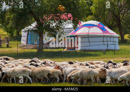 Herd of sheep in grassland of Inner Mongolia, and the yurts where the Mongolian people live in rural areas of the - Stock Photo