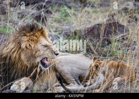 Growling lion: Aggressive adult male Masra lion (Panthera leo) bares its teeth as it growls and snarls at a cowering - Stock Photo